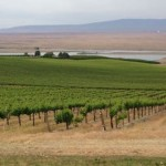 Syrah-vineyard-1
